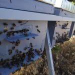 Abejas Nectarius en el porche de las colmenas