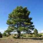 Ejemplar de pino