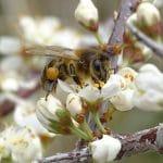 Abeja con polen en flor de rosal silvestre