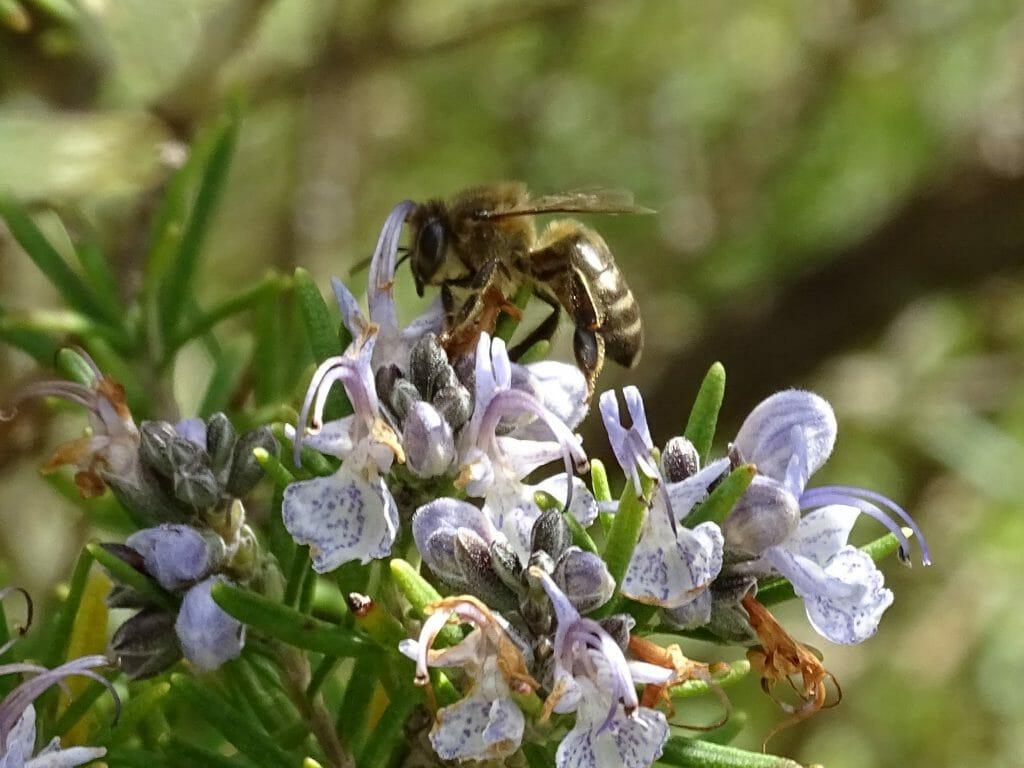 Abeja en flor de romero