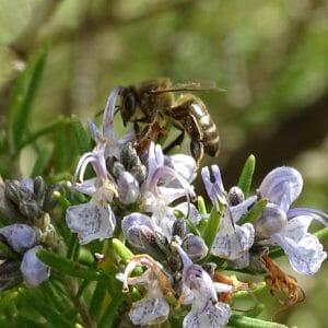 Nectarius deOrigen Romero-Tomillo Ecológico 310g