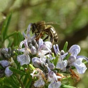 Miel de la Alcarria ecológica de ROMERO Y TOMILLO (310g)