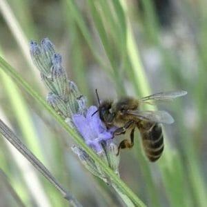 Miel de la Alcarria ecológica de espliego (310g)