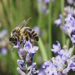 Miel de la Alcarria ecológica de Lavanda (310g)