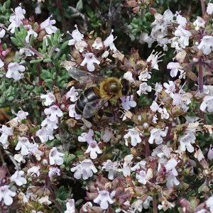 Miel de la Alcarria ecológica de TOMILLO (310g)